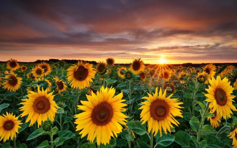 3d Animated Nature Wallpaper Free Download Hd Sunflower Field Wallpaper Download Free 60729