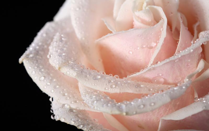 Baby Girl Pattern Wallpaper Hd Big Cream Rose On A Black Background With Water Drops