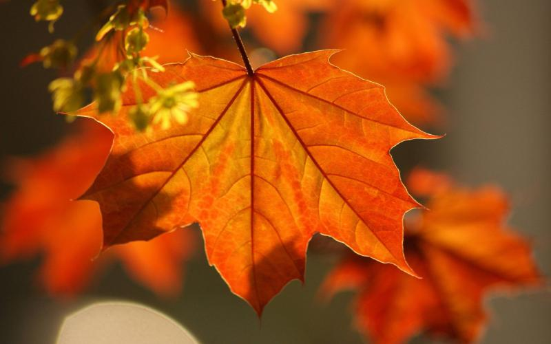 Awesome Fall Wallpapers Hd Orange Leaf Wallpaper Download Free 57741