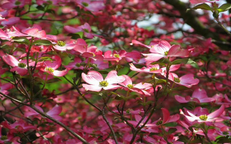 Good Night 3d Wallpaper Hd Pink Dogwood Flower Wallpaper Download Free 68517