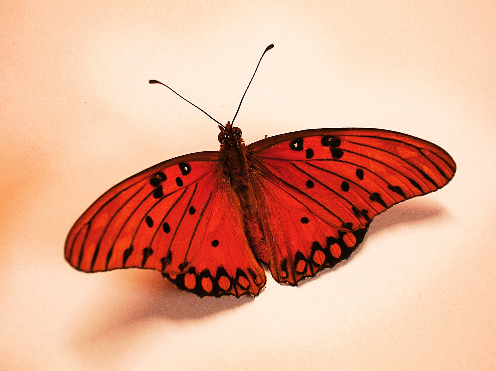 Roter Schmetterling Free Red Butterfly Stock Photo - Freeimages.com