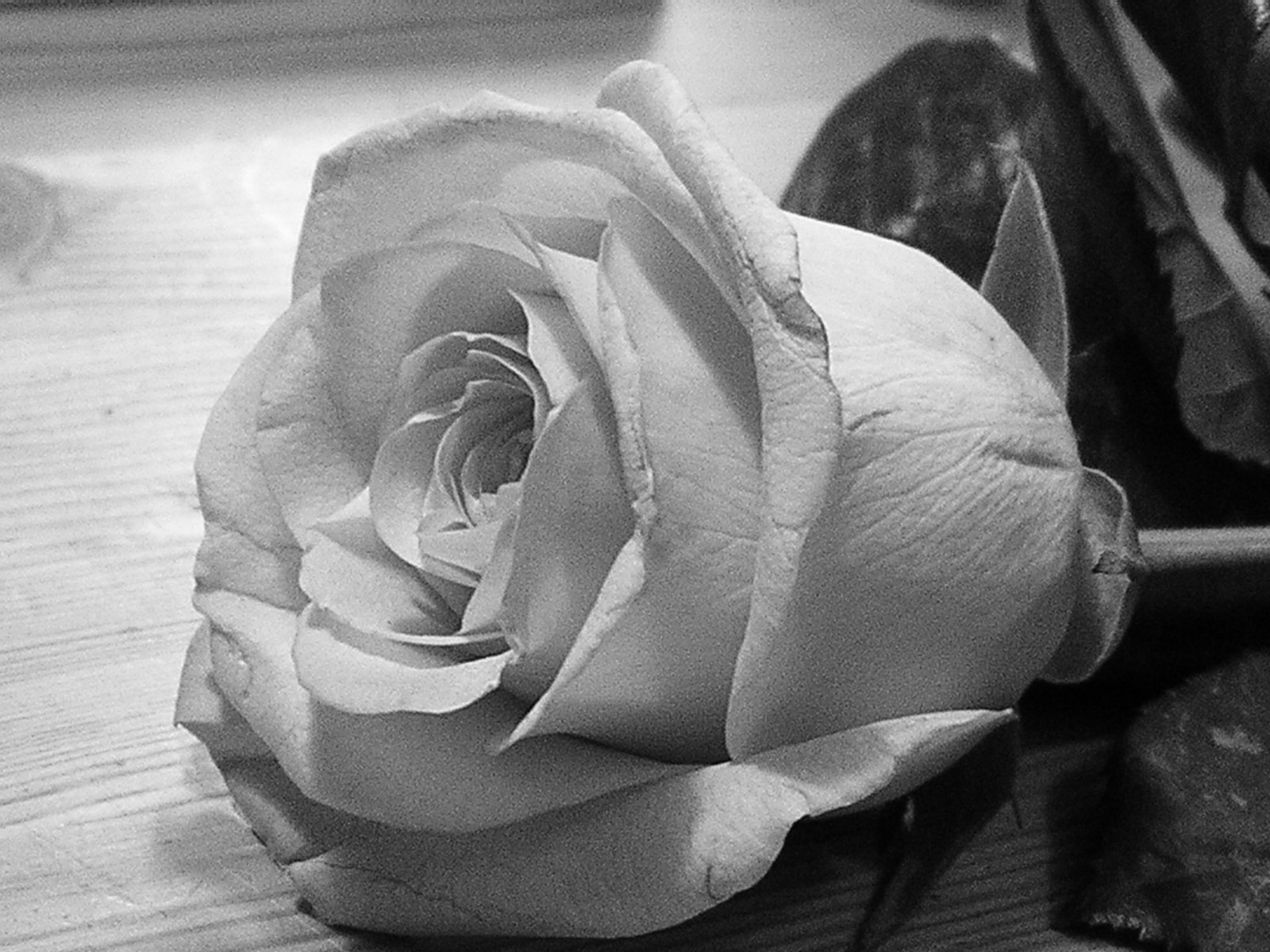 Fall Flowers Desk Background Wallpaper Free Grayscale Rose Stock Photo Freeimages Com