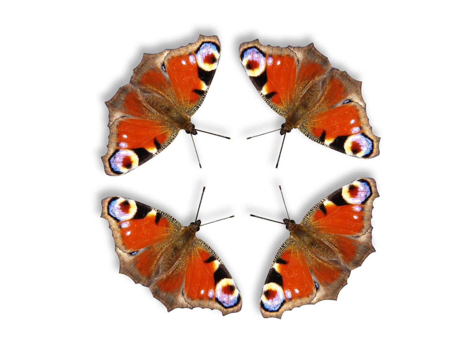 Free Butterflies Circle Stock Photo Freeimagescom
