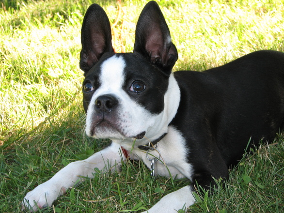 Cute Boston Terrier Wallpaper Free Boston Terrier Pup Stock Photo Freeimages Com