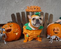 French Bulldog Costumes Halloween All About Costumes