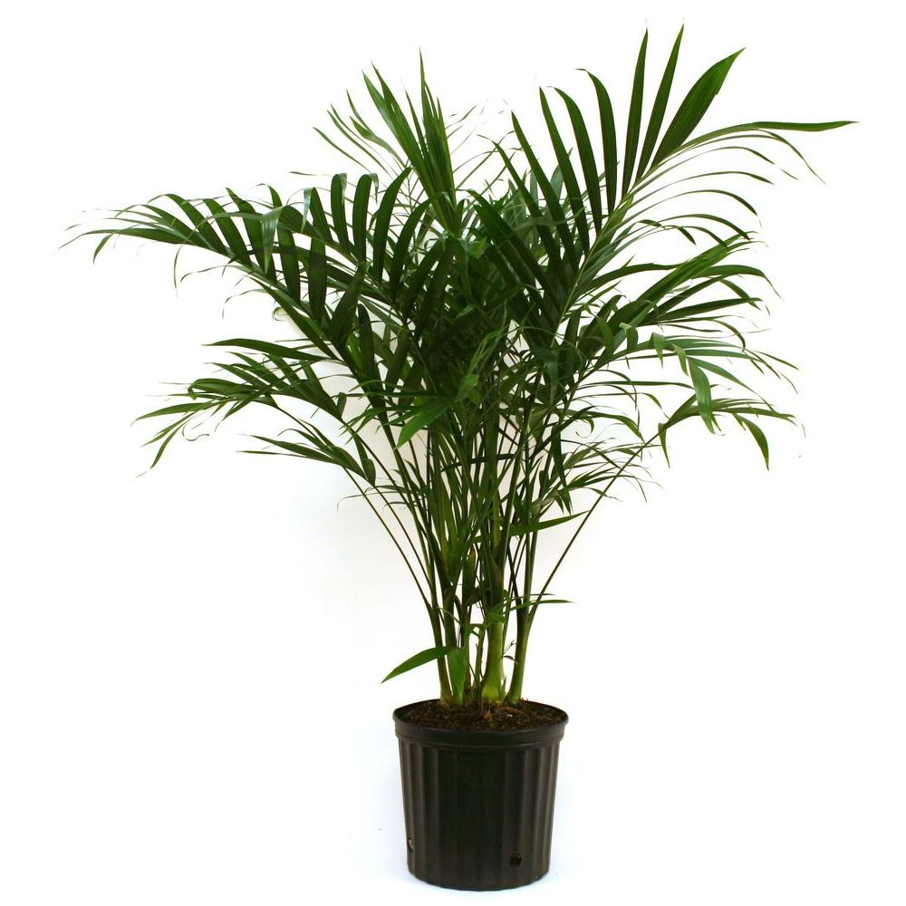 Home Depot Palm Trees Costa Farms Cateracterum Palm In 9 25 In Grower Pot
