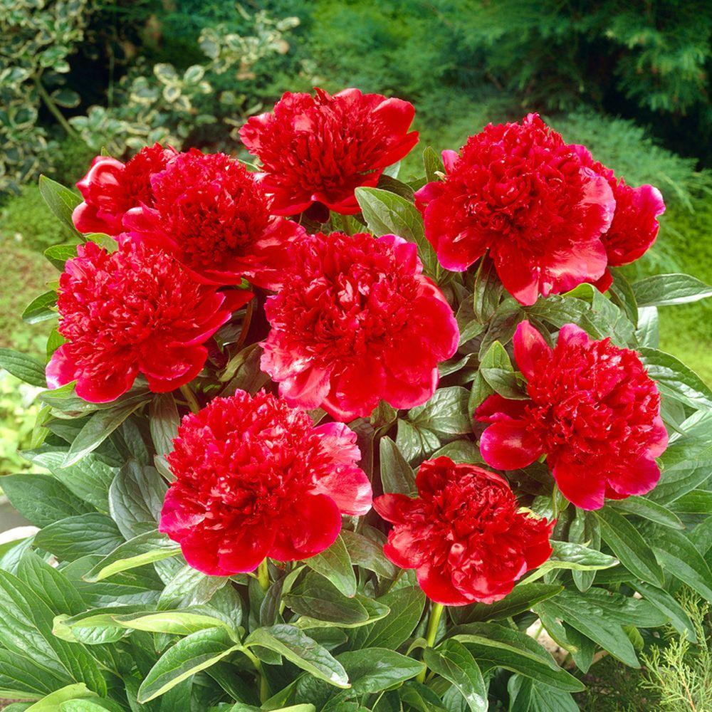 Pianese Flowers Red Charm Peony Roots 3 Pack