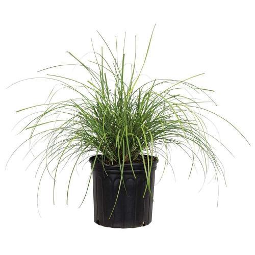 Medium Of Japanese Silver Grass