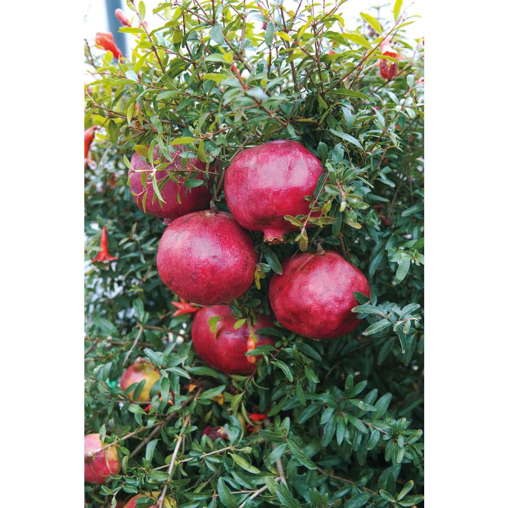 Pomegranate Pics Gurney S 2 65 Qt Pot Wonderful Pomegranate Punicagranatum Live Fruiting Tree Bright Red Fruits 1 Pack