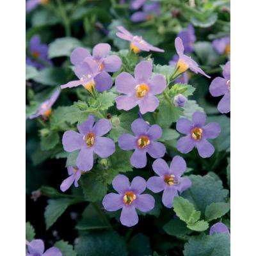 Blue - Annuals - Garden Plants  Flowers - The Home Depot