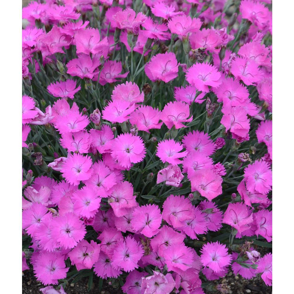 Pinks Plant - Perennials - Garden Plants  Flowers - The Home Depot