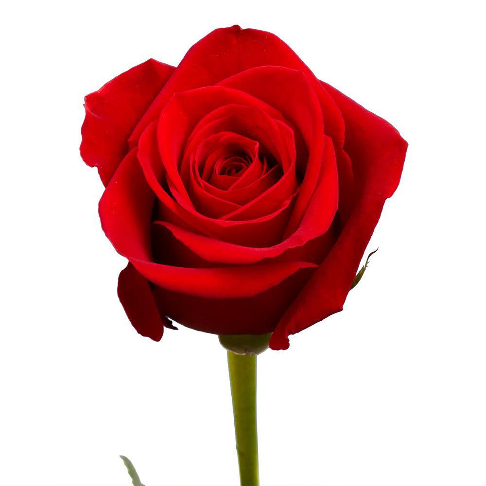 Rose Globalrose 100 Red Roses Fresh Flower Delivery