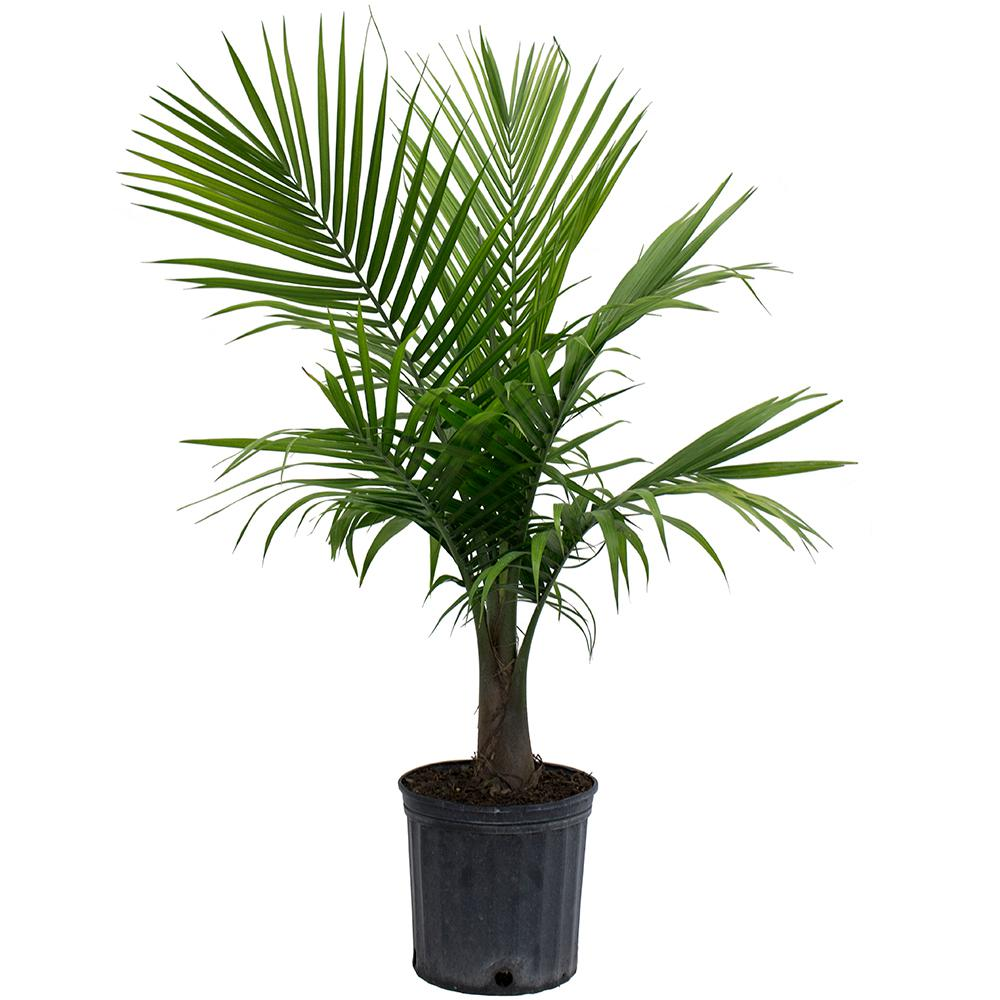 Home Depot Palm Trees Costa Farms Majesty Palm In 9 25 In Grower Pot