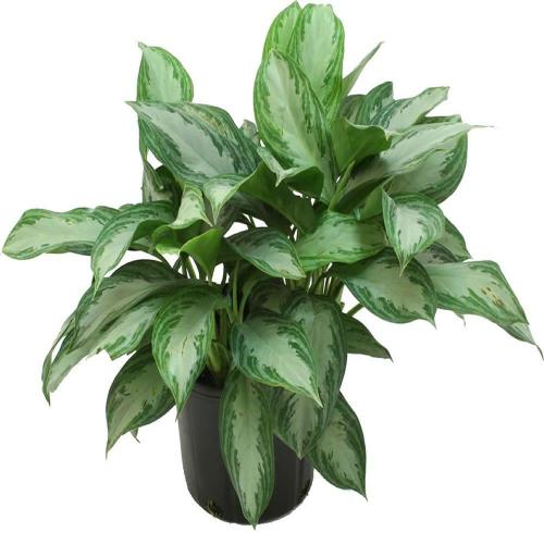 Mesmerizing Grower Home Depot Low Light Houseplants Lowes Vs Home Depot House Plants Grower Pot Costa Farms Aglaonema Silver Bay Costa Farms Aglaonema Silver Bay