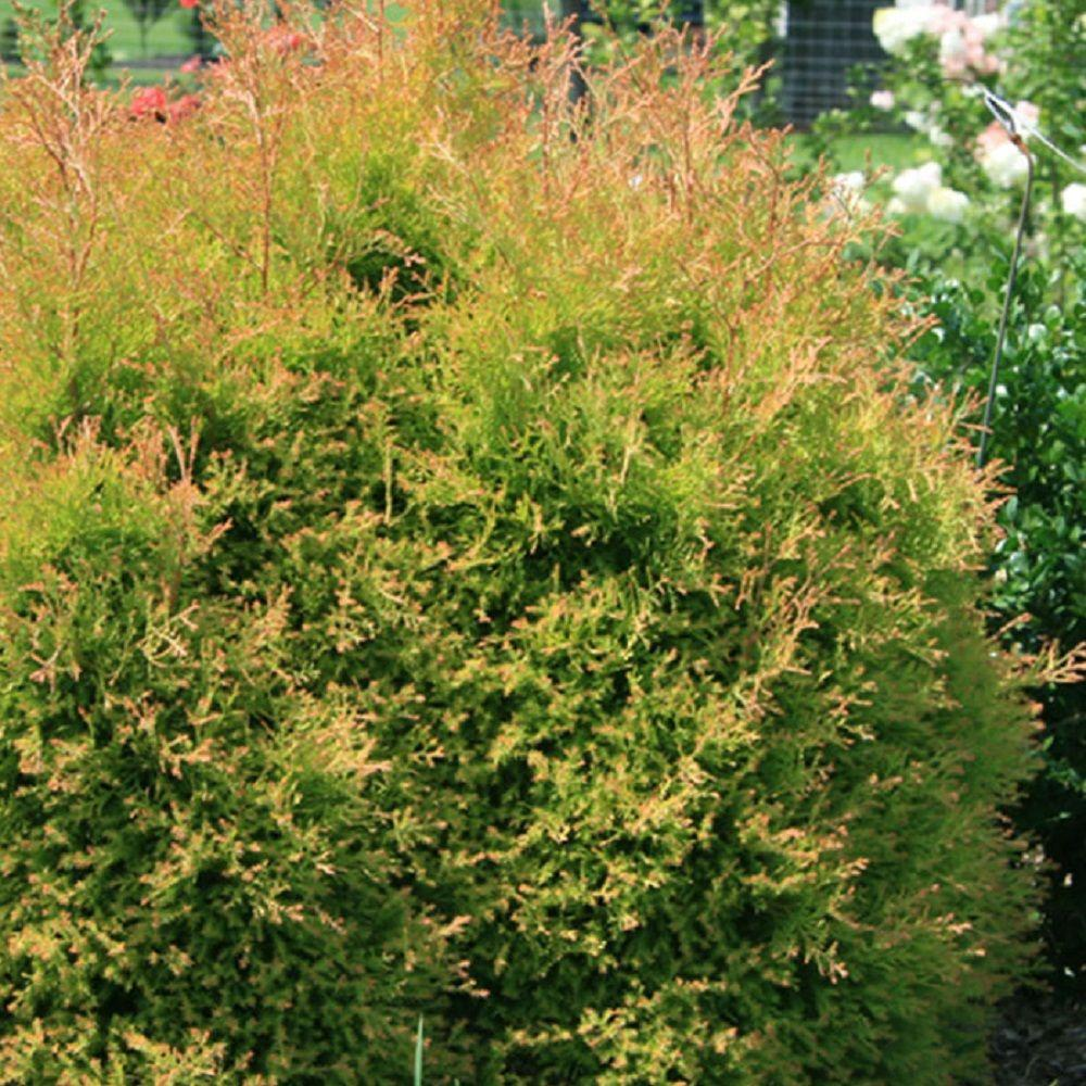 Thuja Rheingold Southern Living Plant Collection 2 Gal Fire Chief Arborvitae Thuja Live Dwarf Evergreen Shrub Golden Orange Foliage