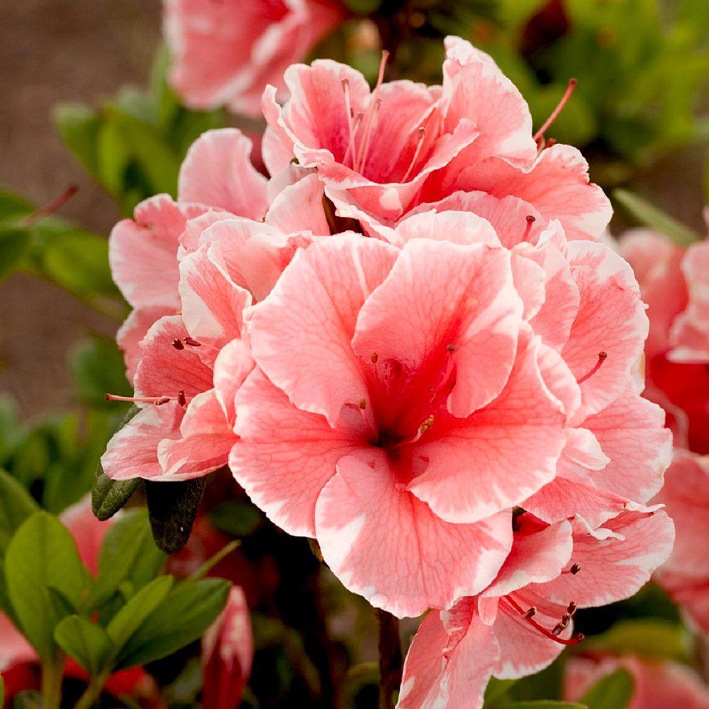 Encore Azalea 1 Gal Autumn Fire - Red Multi-season Re-Blooming