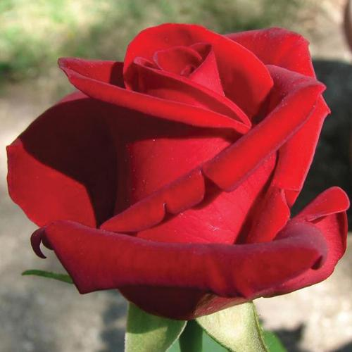 Medium Of Chrysler Imperial Rose