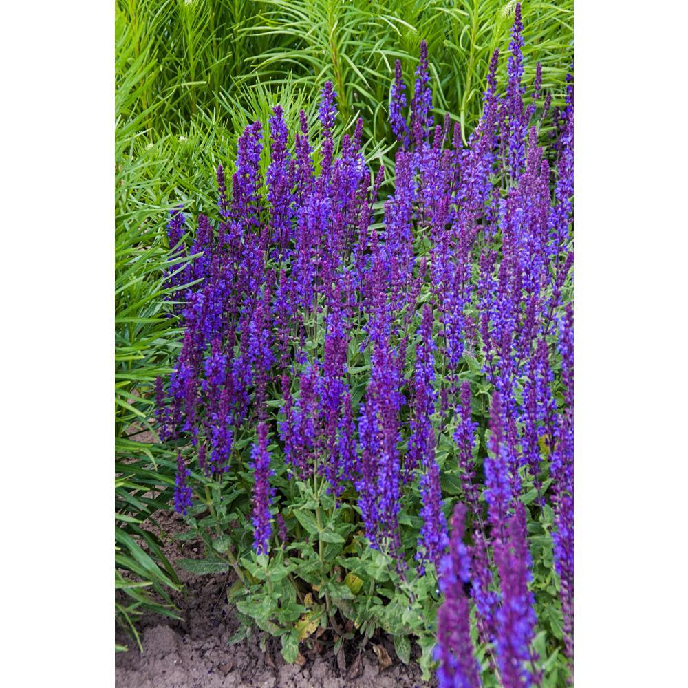 Full Sun - Blue - Perennials - Garden Plants  Flowers - The Home Depot