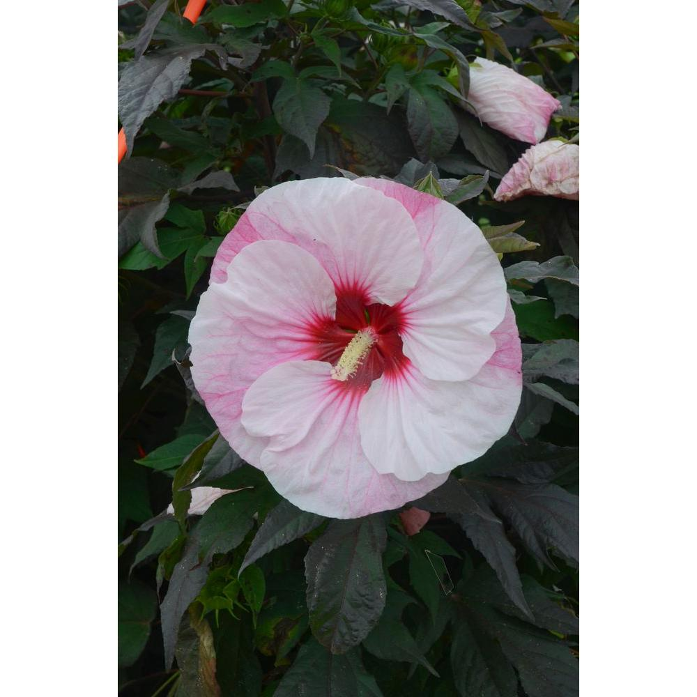 Sterling Sale Near Me Midnight Marvel Hibiscus Winter Care Summerific Hibiscus Perennials Garden Plants Flowers Home Depot Midnight Marvel Hibiscus houzz-02 Midnight Marvel Hibiscus