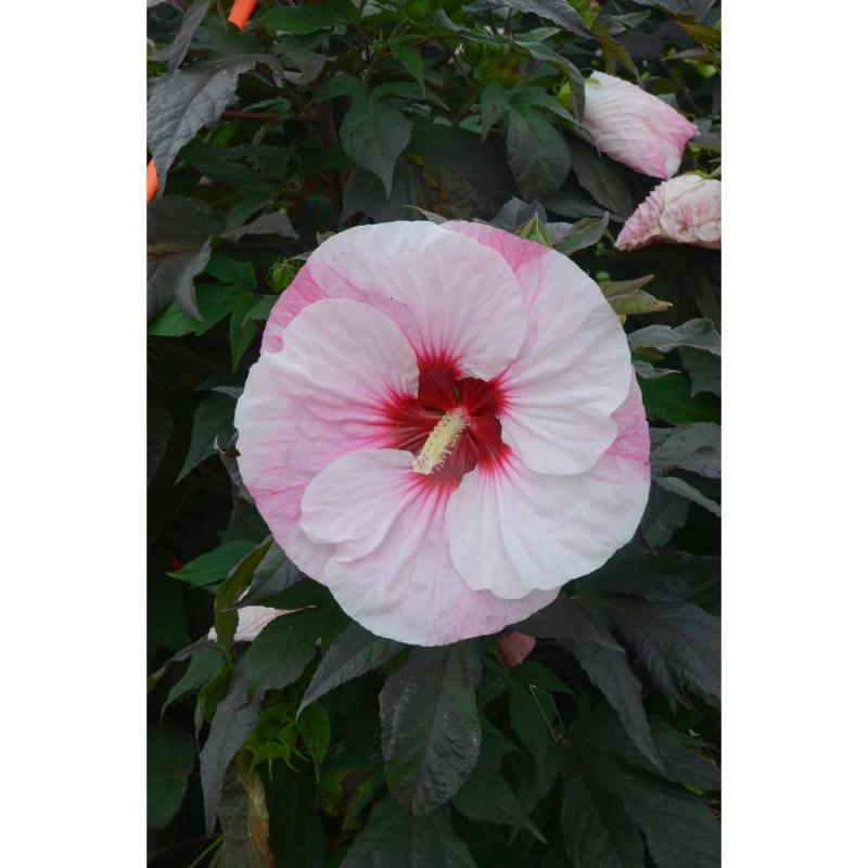 Large Of Midnight Marvel Hibiscus