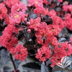 Small Of Tonto Crape Myrtle