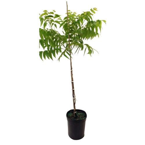 Medium Of Home Depot Fruit Trees