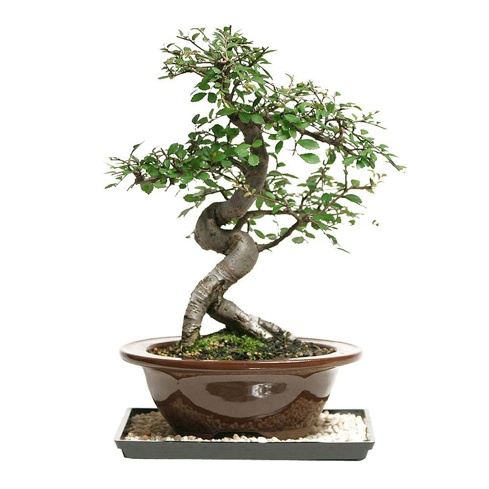Asian Plants For Sale Brussel S Bonsai Outdoor Chinese Elm