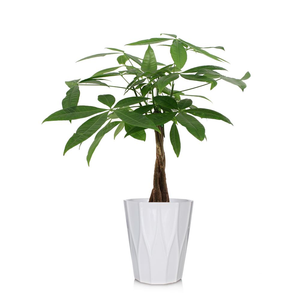 Home Depot Palm Trees Just Add Ice Green 5 In Money Tree Plant In Ceramic Pot