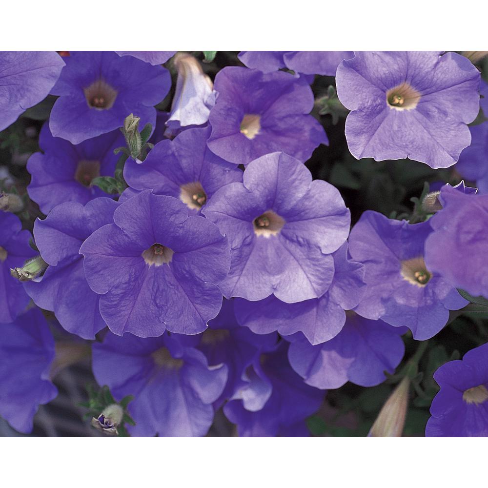 Flowering - Blue - Annuals - Garden Plants  Flowers - The Home Depot