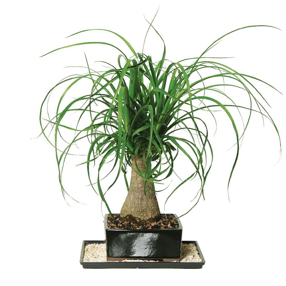 Home Depot Palm Trees Brussel S Bonsai Ponytail Palm Indoor