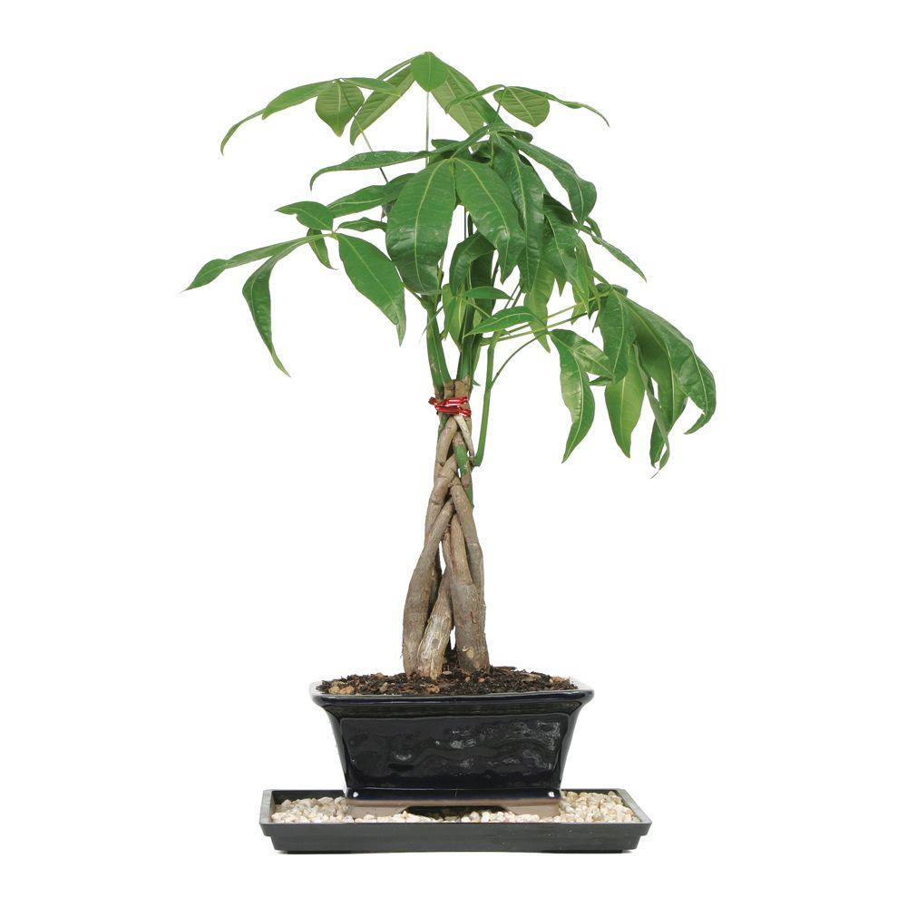 Home Depot Palm Trees Braided Money Tree Indoor