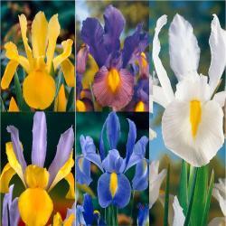 Small Crop Of Iris Bulbs For Sale