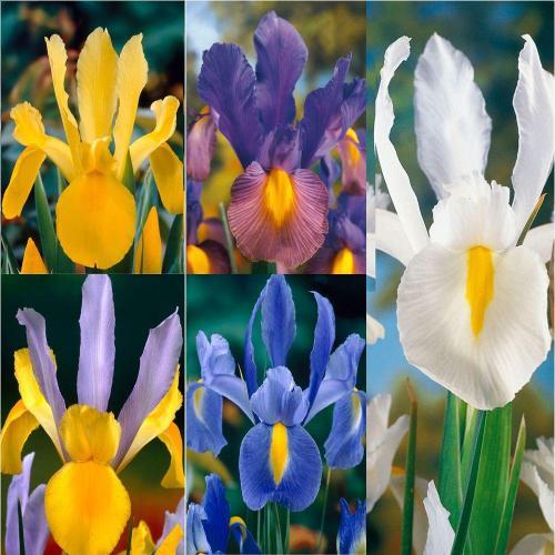Medium Of Iris Bulbs For Sale