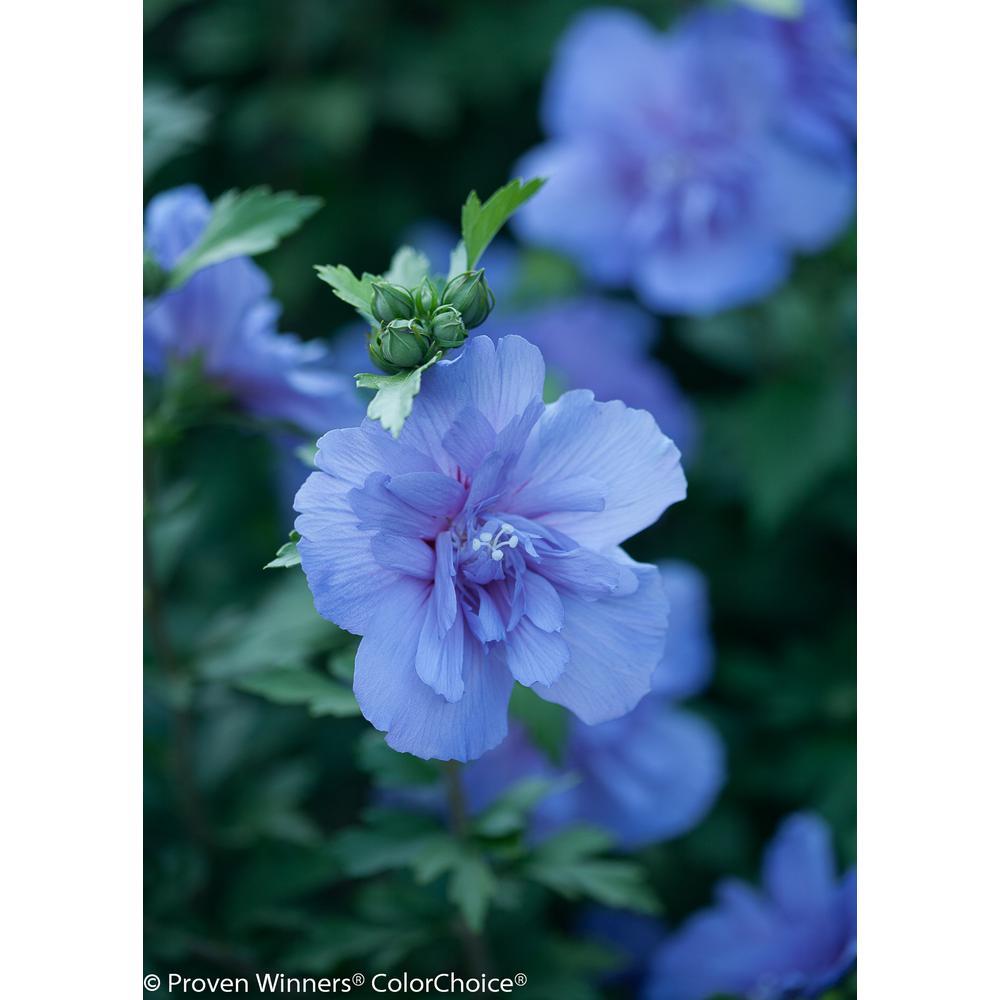 Purple - Drought Tolerant - Perennials - Garden Plants  Flowers