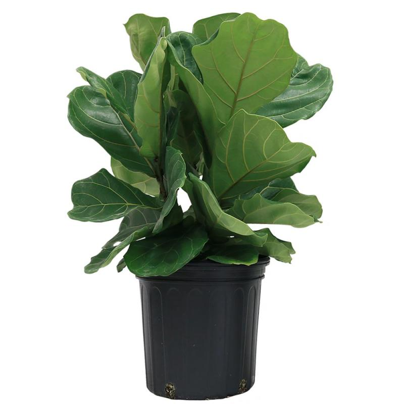 Comfortable In Home Depot House Plants Canada Home Depot Artificial House Plants Costa Farms Ficus Fig Plant Grower Costa Farms Ficus Fig Plant