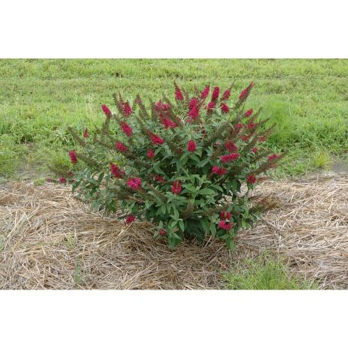 Medium Crop Of Pruning Butterfly Bush