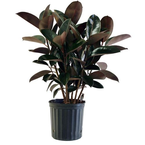 Supple Pot Costa Farms Burgundy Rubber Plant Costa Farms Burgundy Rubber Plant Home Home Depot House Plants Canada Home Depot Artificial House Plants