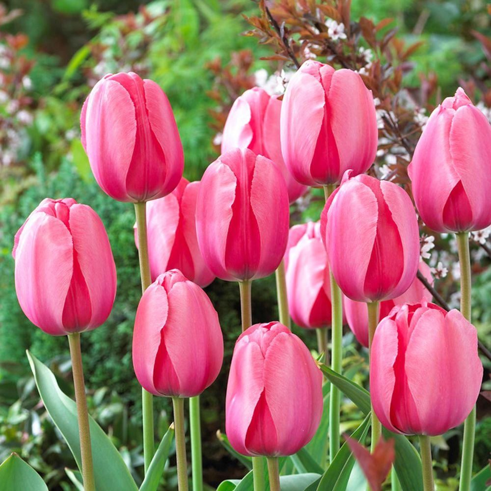 Fullsize Of How To Store Tulip Bulbs