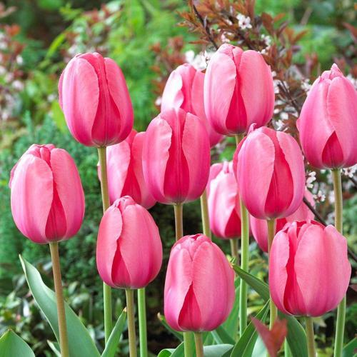 Medium Of How To Store Tulip Bulbs