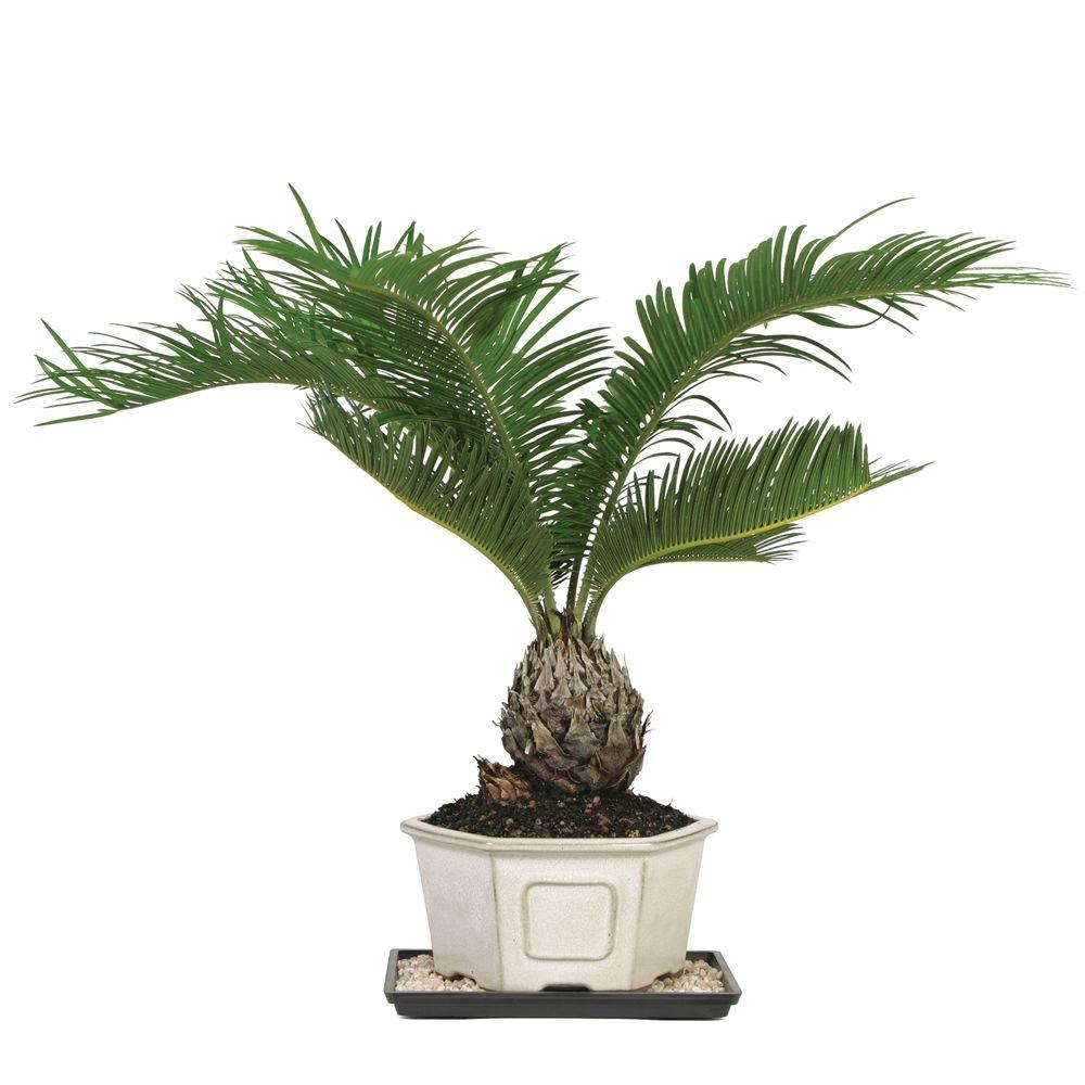 Home Depot Palm Trees Brussel S Bonsai Sago Palm Indoor