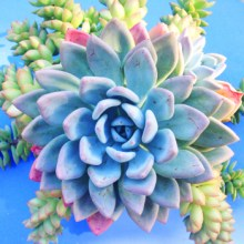 Succulent Art Graphy