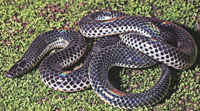 Pune New snake species discovered in Western Ghats Cities News