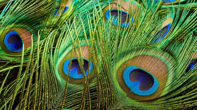Hd Wallpaper Diwali Light Peacock Feathers Inspire Researchers To Develop Greener