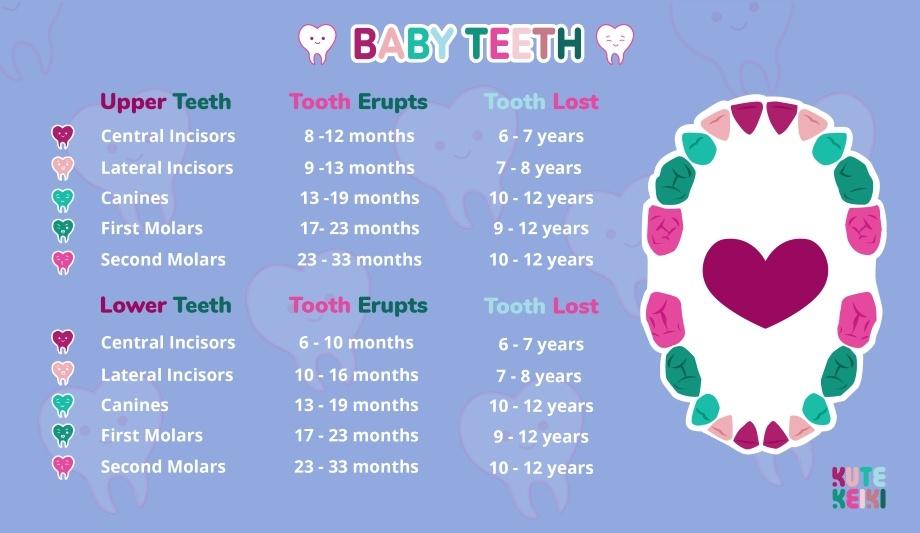 Baby Teeth Order  Infant Teething Chart Kute Keiki