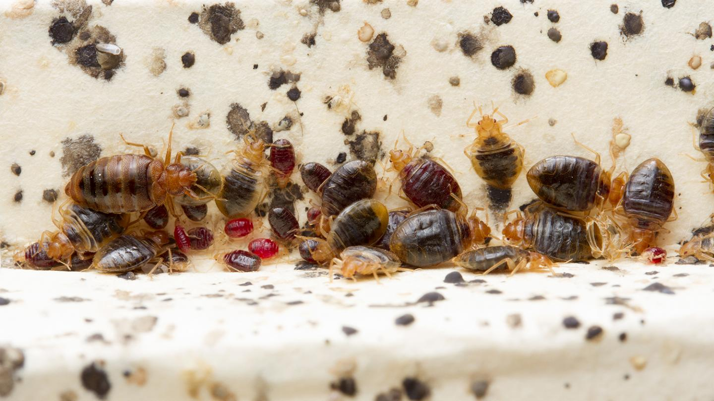 Images Of Bed Bugs Bed Bugs More Than Just A Nuisance Immunology