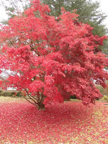 Roter Japanischer Ahorn Small Tree Types - Landscaping Network