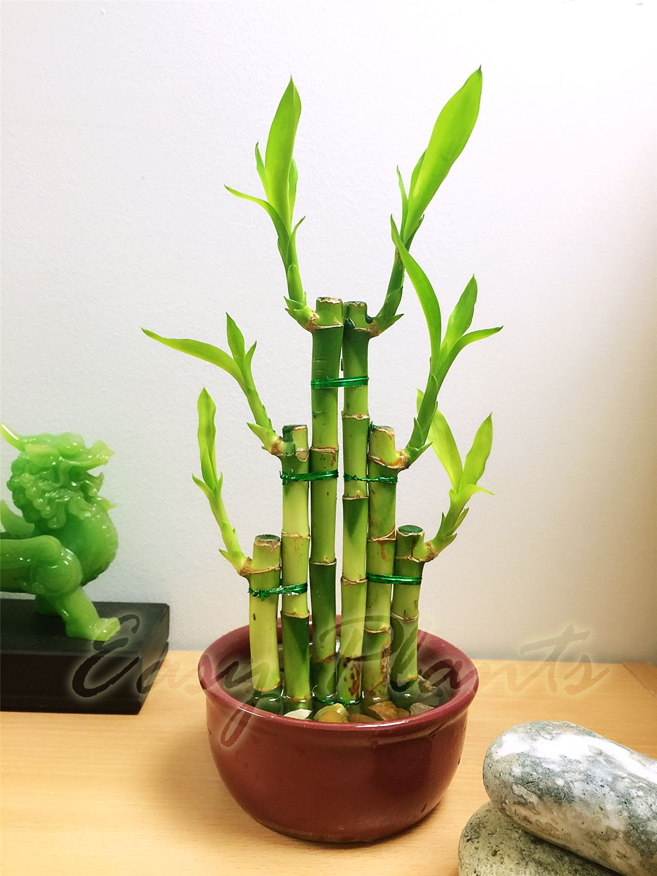 Ceramic Pots For Plants Indoor 1 Lucky Bamboo Ribbon Plant Evergreen Indoor Bonsai In