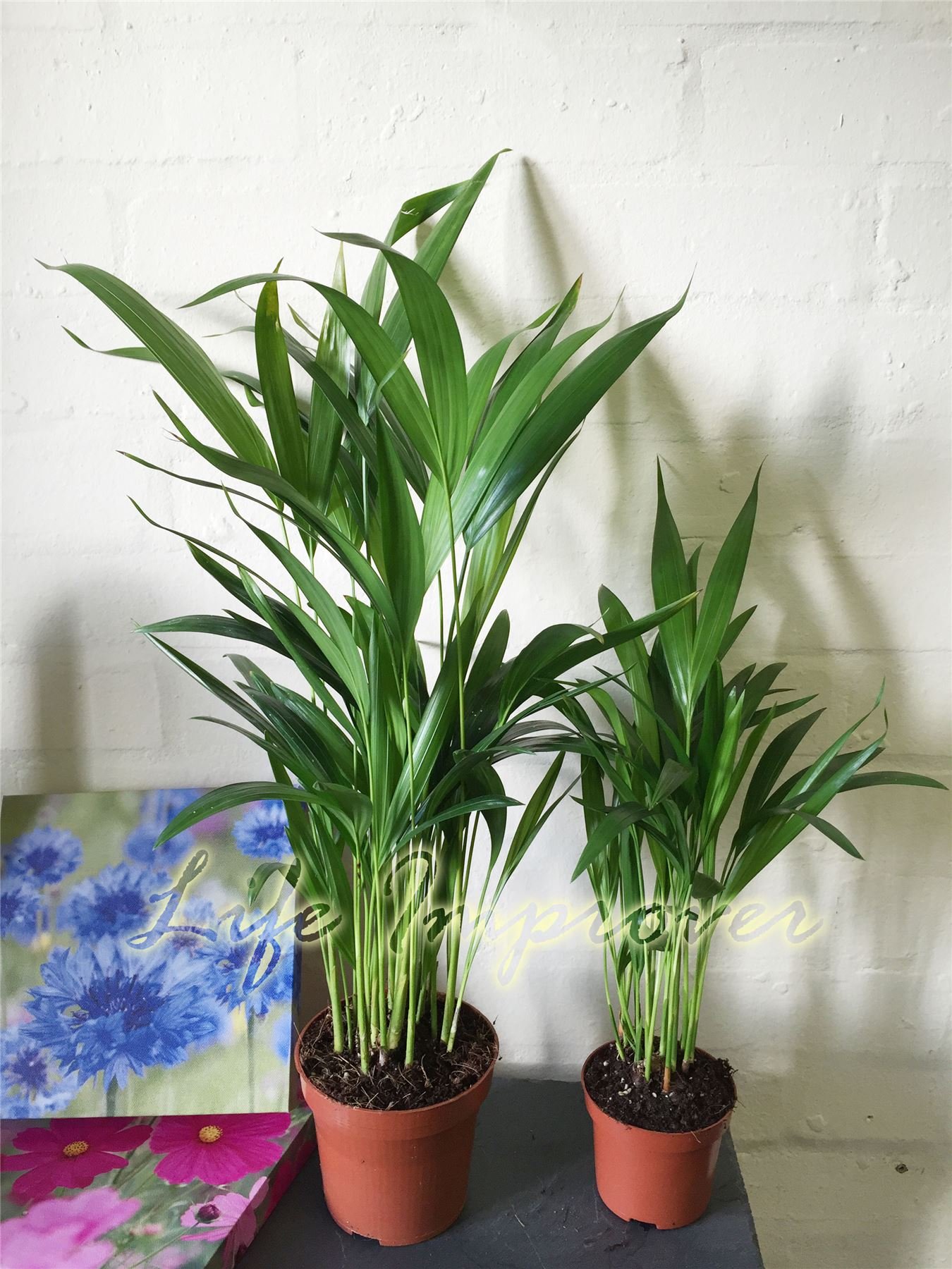 Palm Areca 1 Areca Palm Plant In Pot Cane Palm Indoor Garden Office