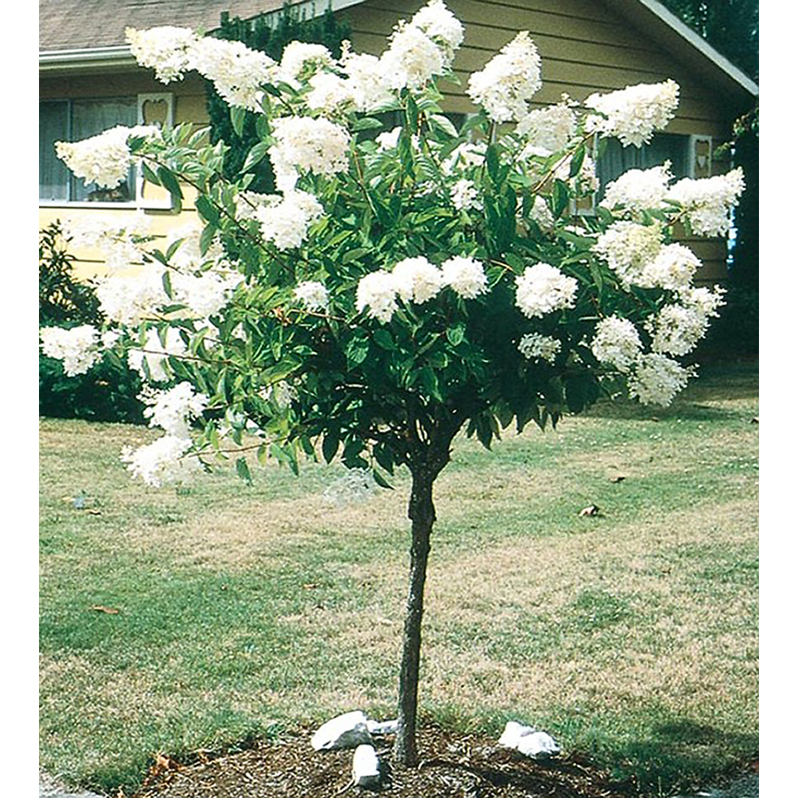 Hortensia Endless Summer Kopen Shop 5 5gallon White Peegee Hydrangea Tree L9285 At Lowes