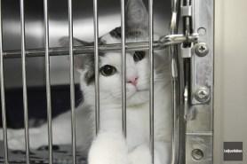 À la SPCA de Jonquière, 85 chats attendent... ((Photo Le Quotidien-Rocket Lavoie))